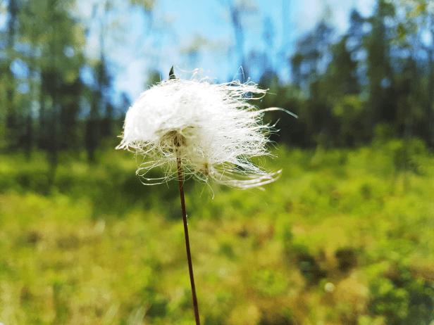 Bilde av myrull fra Sørmarka - Oslomarka - Fantastiske marka