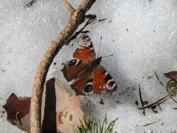 Dagpåfugløye tidlig om våren - Sommerfugler - Oslomarka