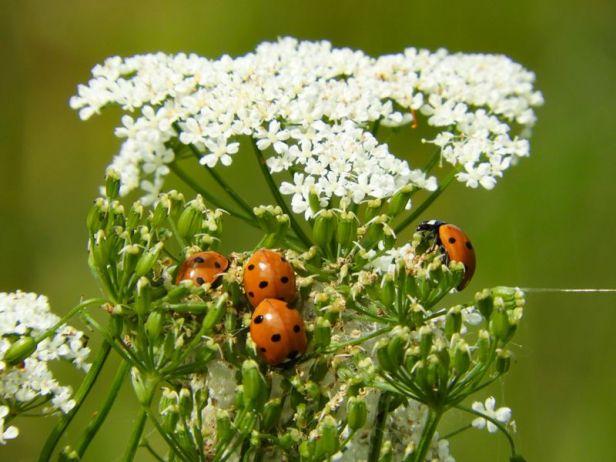 Insekter - Biller - Marihøner - Oslomarka - Fantastiske marka