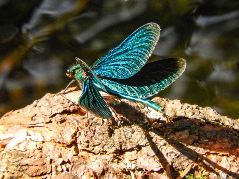 Insekter - Øyenstikker - blåpraktvannsnymfe - Oslomarka - Fantastiske marka