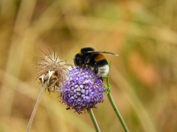 Insekter - Humler - Jordhumle - Oslomarka - Fantastiske marka
