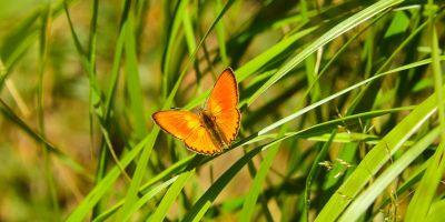 Oransjegullvinge - Sommerfugl - Oslomarka - fantastiske marka