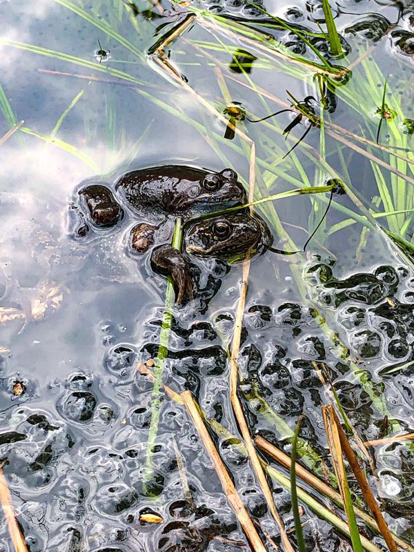 Frosker og froskeegg om våren - vårtegn - Oslomarka - Fantastiske marka