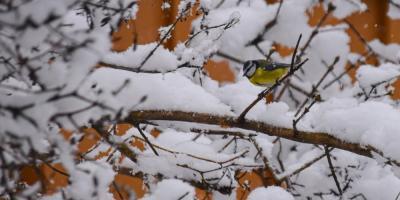 Blåmeis i et tre om vinteren - Fuglemating - Vinterfugler - Oslomarka - Fantastiske marka