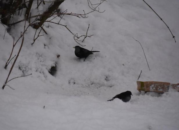 Svarttrost ved fuglebrettet - Fugleforing - Fugler - Vinterfugler - Fantastiske marka
