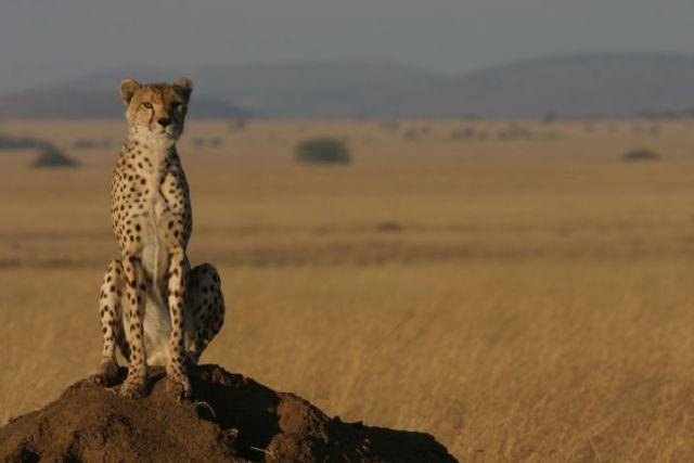 cheetahs standing