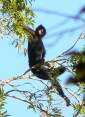 Spider monkey in the Manu National Park