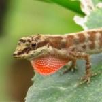 Anolis mariarum (Reptilia clásico)