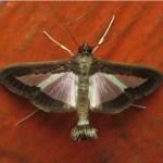 Diaphania sp. (Lepidoptera, Crambidae, Spilomelinae, Margaroniini). Fotografía: Sebastián Berrío