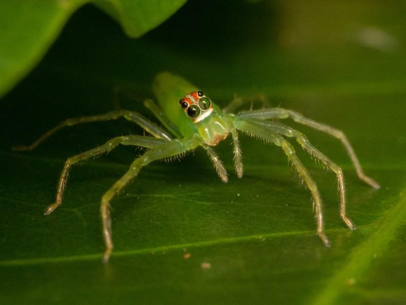 Araña saltarina (Lyssomanes sp.)