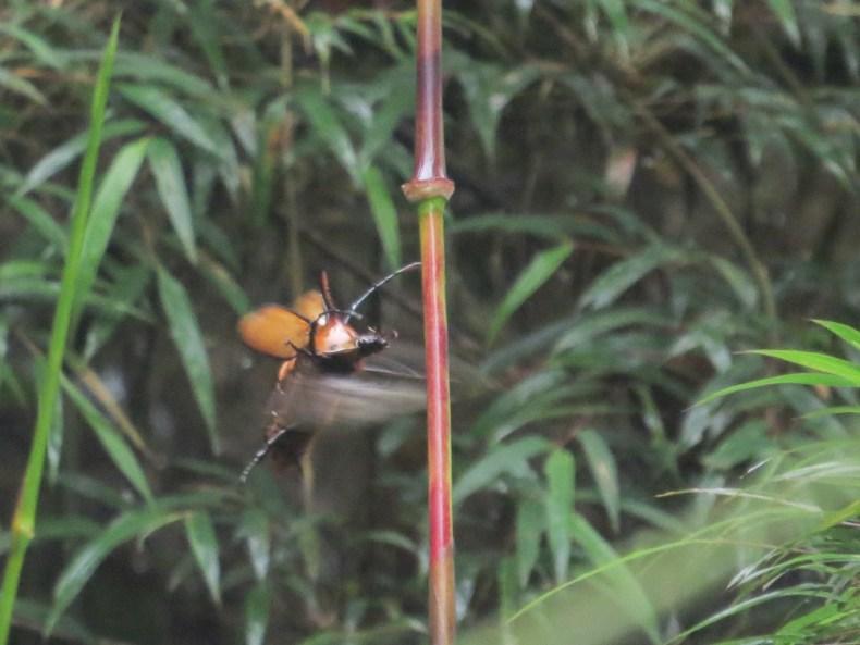 Escarabajo rinoceronte (Golofa porteri) (Coleoptera: Scarabaeidae). Fotografía: Sebastián Berrío