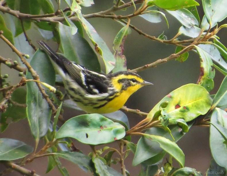 Reinita gorginaranja (Setophaga fusca) / Blackburnian Warbler. Fotografía: Jorge Cano