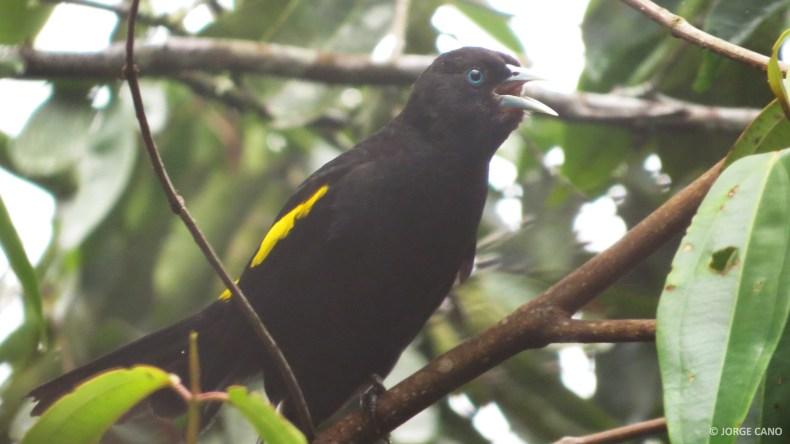 Cacique montañero (Cacicus chrysonotus) / Mountain Cacique. Fotografía: Jorge Cano