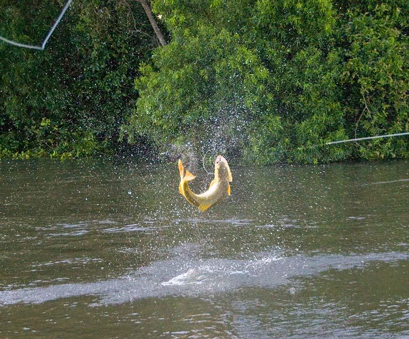 Golden dorado fishing faraway fly fishing for Golden dorado fish