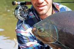 Pacu on dry fly