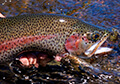 patagonia-trout