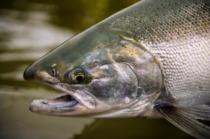Bear Trail Salmon