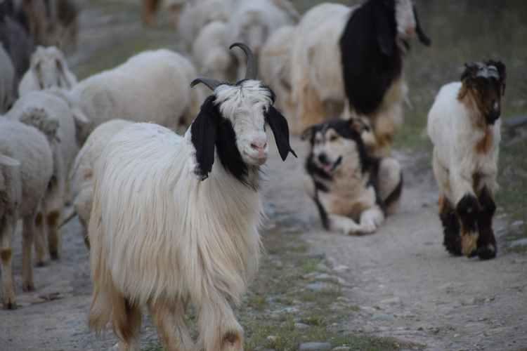 Getmjölken får inte saknas i osten för att få kallas halloumi