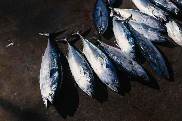 Nyfångad tonfisk vid havet