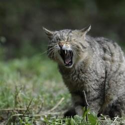 wildcat-356805_960_720