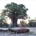 "Baobab <a style=""margin-left:10px; font-size:0.8em;"" href=""http://www.flickr.com/photos/36521966868@N01/3843886/"" target=""_blank"">@flickr</a>"