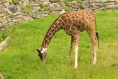 "CRW_8053: Giraffe • <a style=""font-size:0.8em;"" href=""http://www.flickr.com/photos/54494252@N00/13257491/"" target=""_blank"">View on Flickr</a>"