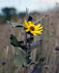 """671B3071: Yellow Flower • <a style=""""font-size:0.8em;"""" href=""""http://www.flickr.com/photos/54494252@N00/15843329/"""" target=""""_blank"""">View on Flickr</a>"""