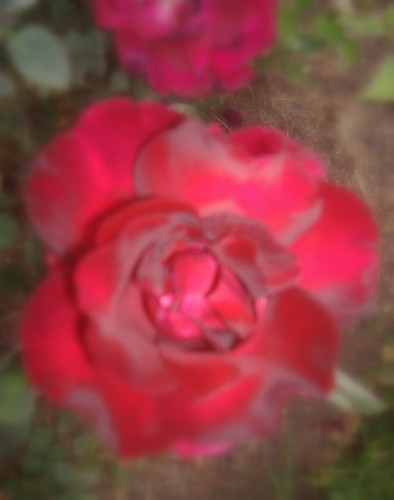 Twelfth Night Rose