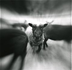 blur_sheep