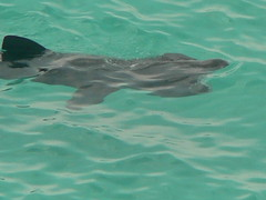 basking sharks at porthcurno