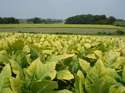 plantacion de tabaco