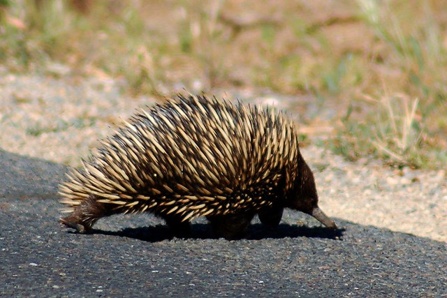 I spotted a 'Echidna' today !!