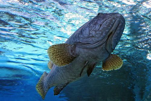 Zackenbarsch Grouper