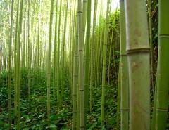 Bambú é poderoso defumador