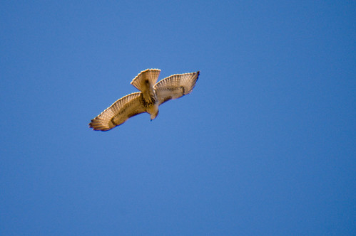 Flying Red Tail