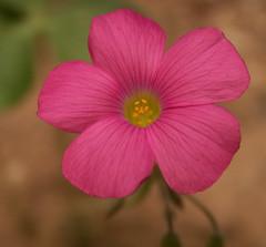 Pink Flower, Oxalis Weed Macro