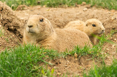"""CRW_8026: Prairie Dogs • <a style=""""font-size:0.8em;"""" href=""""http://www.flickr.com/photos/54494252@N00/13257336/"""" target=""""_blank"""">View on Flickr</a>"""