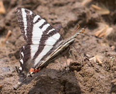"""IMG_5396: Zebra Swallowtail Butterfly • <a style=""""font-size:0.8em;"""" href=""""http://www.flickr.com/photos/54494252@N00/15876874/"""" target=""""_blank"""">View on Flickr</a>"""
