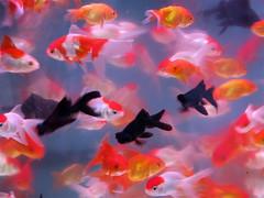 Hong Kong Goldfish