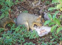 Sandwich Stealing Squirrel