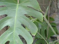 Money Plant