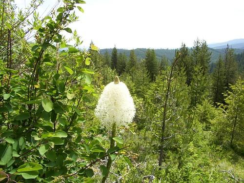 Bear grass blossom and pine trees