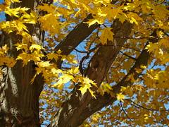 Yellow Maple II by Andy McFarlane