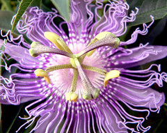 Passion Flower on Sifnos