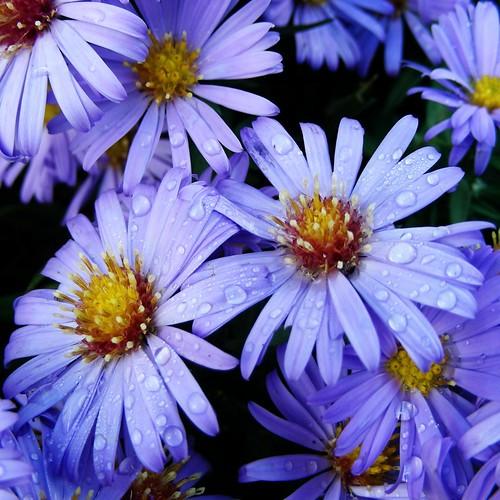 asters deep purple
