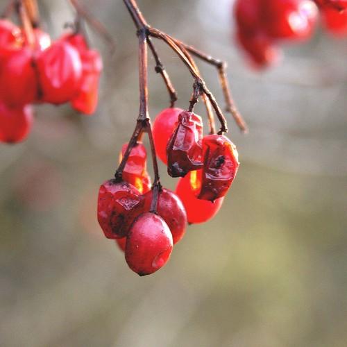 Transient Red Berries