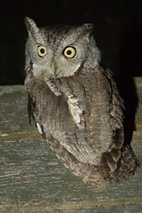 Eastern Screech Owl - by Tom LeBlanc