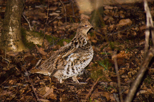 Ruffed Grouse by Tom LeBlanc aka Mon@rch