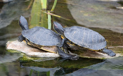 """IMG_3330: Two Turtles • <a style=""""font-size:0.8em;"""" href=""""http://www.flickr.com/photos/54494252@N00/360059741/"""" target=""""_blank"""">View on Flickr</a>"""