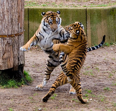 "IMG_3432: Dancing Tigers • <a style=""font-size:0.8em;"" href=""http://www.flickr.com/photos/54494252@N00/359098241/"" target=""_blank"">View on Flickr</a>"
